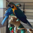 Amazing Macaw Parrots for Sale